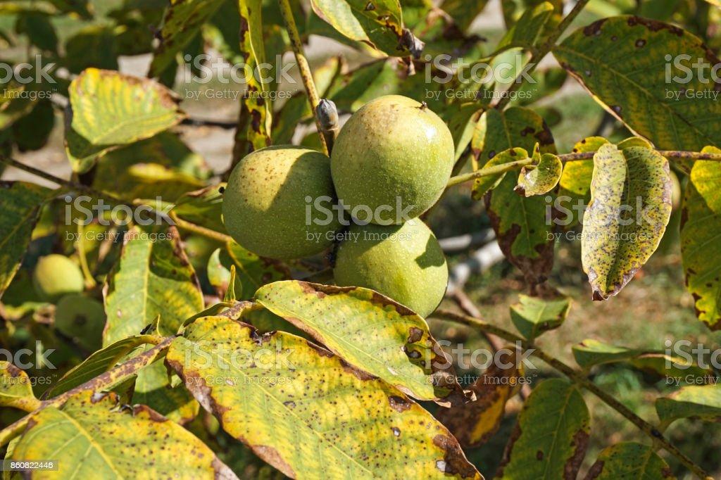 Green walnut in the tree in autumn'n stock photo