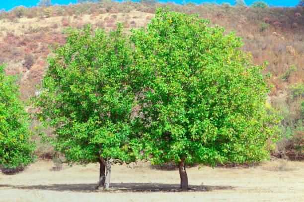 Green walnut trees picture id1295692529?b=1&k=6&m=1295692529&s=612x612&w=0&h=19asbirkarqaykbi8euzdcwv82o7h628fcxunjp7aj8=