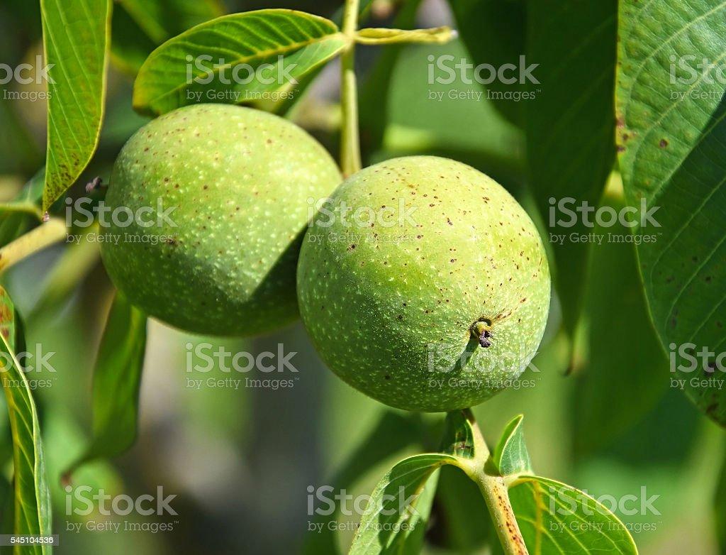 Green walnuts close-up stock photo