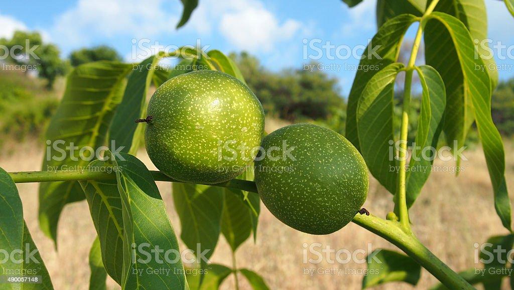 Green walnuts in the tree stock photo