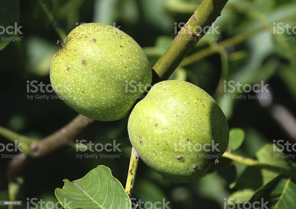 green walnuts royalty-free stock photo