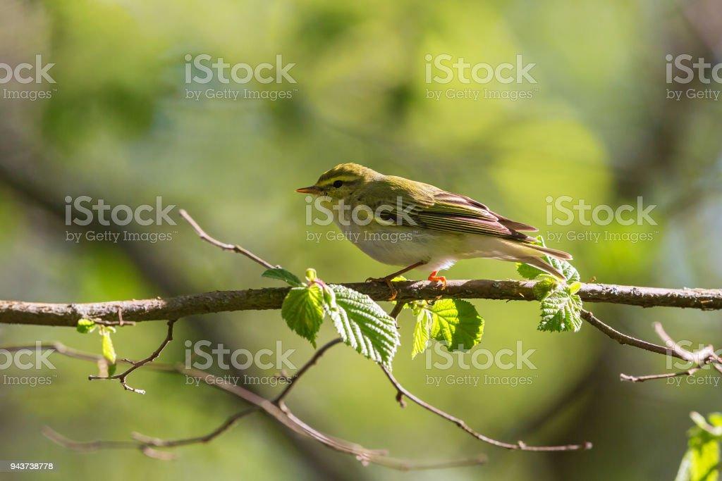 Green Warbler at spring stock photo