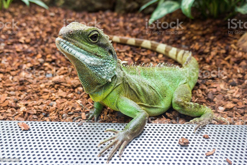 Green Water Dragon.  Physignathus cocincinus stock photo