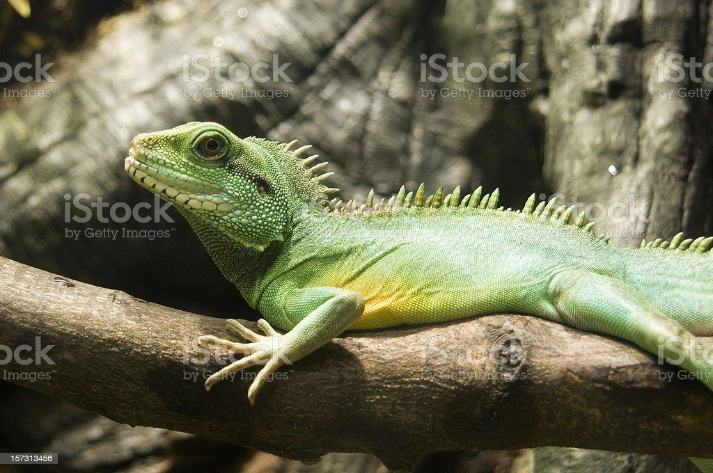 Green Water Dragon stock photo