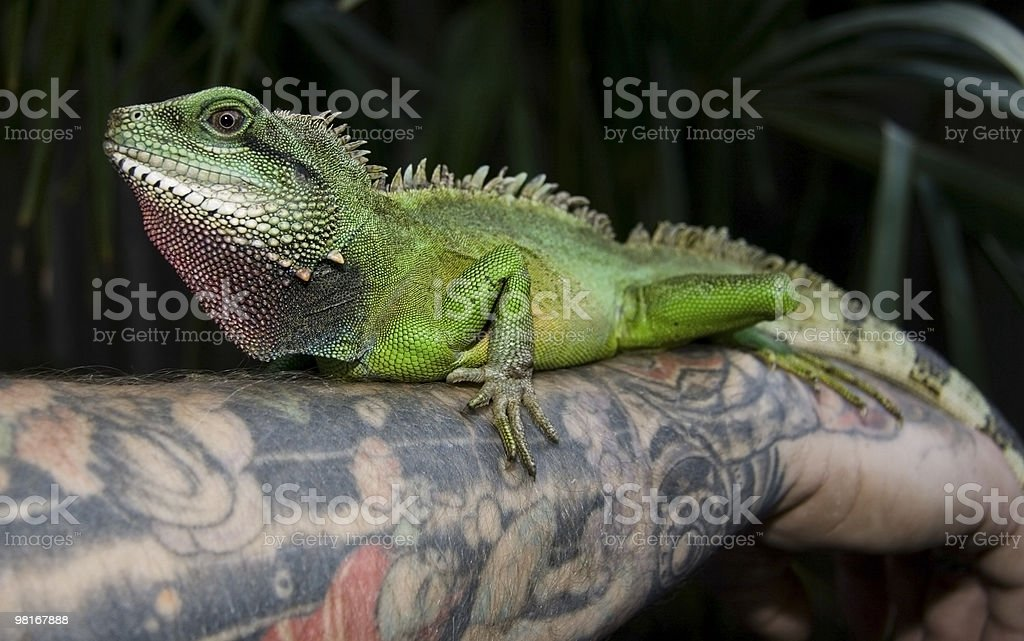 Green Water Dragon royalty-free stock photo