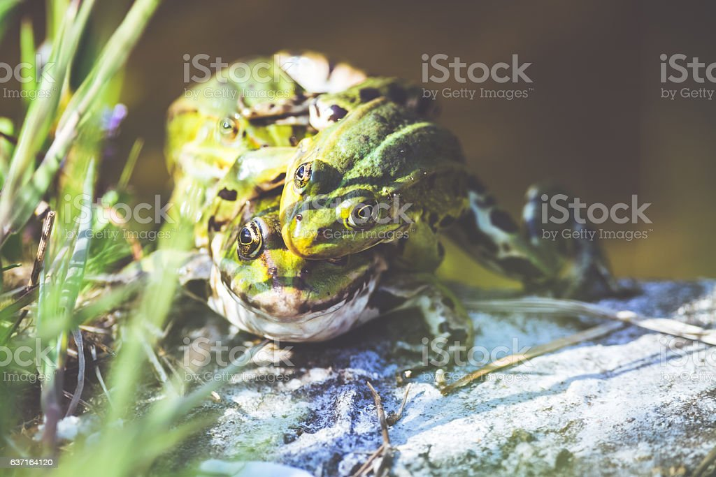 Green water frogs [Rana kl. esculenta] in copulatory behaviour stock photo