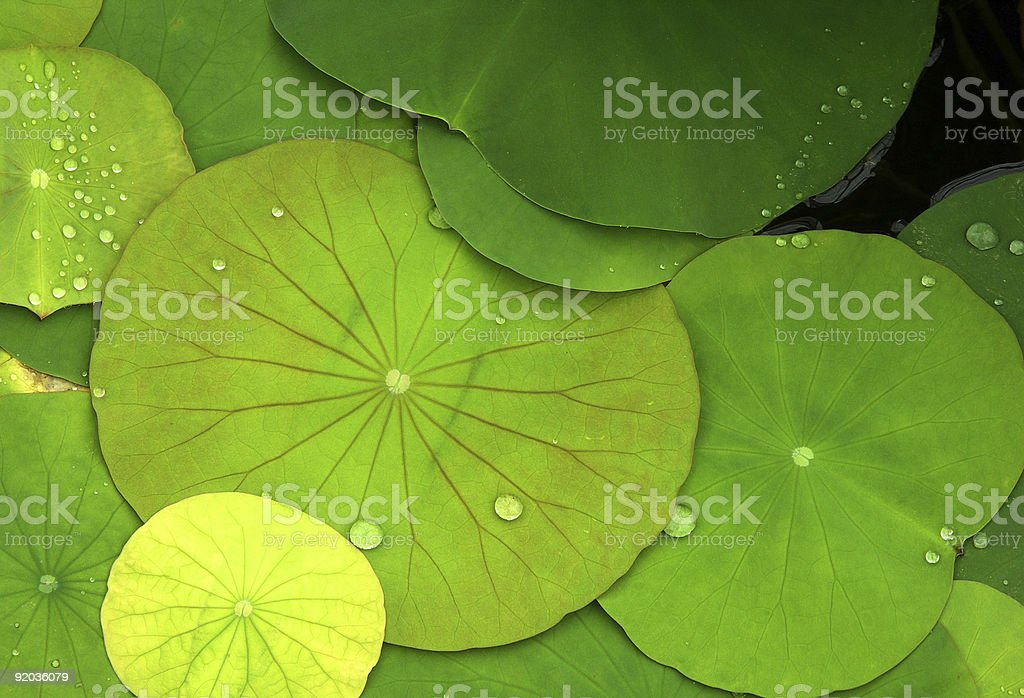 Green Water Lilies and dew drops stock photo