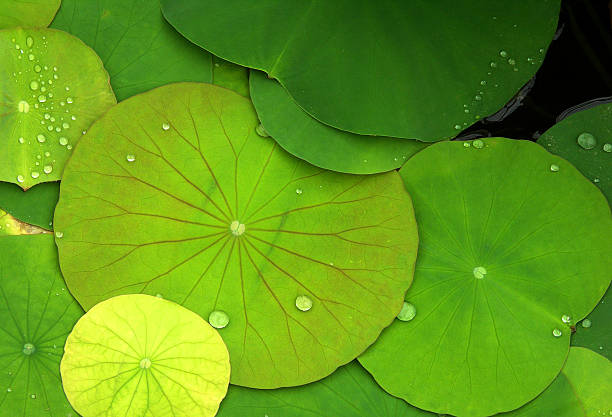 Green Water Lilies and dew drops  water lily stock pictures, royalty-free photos & images