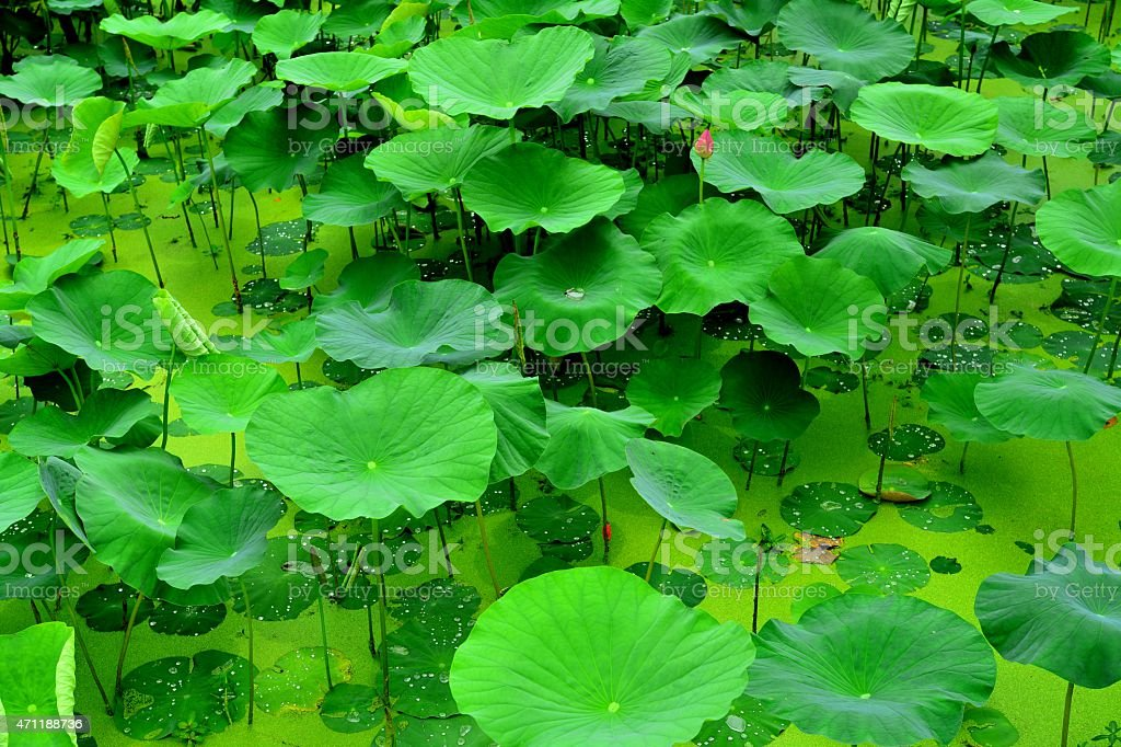 Green water lily leaves and duckweeds grow at pond stock photo