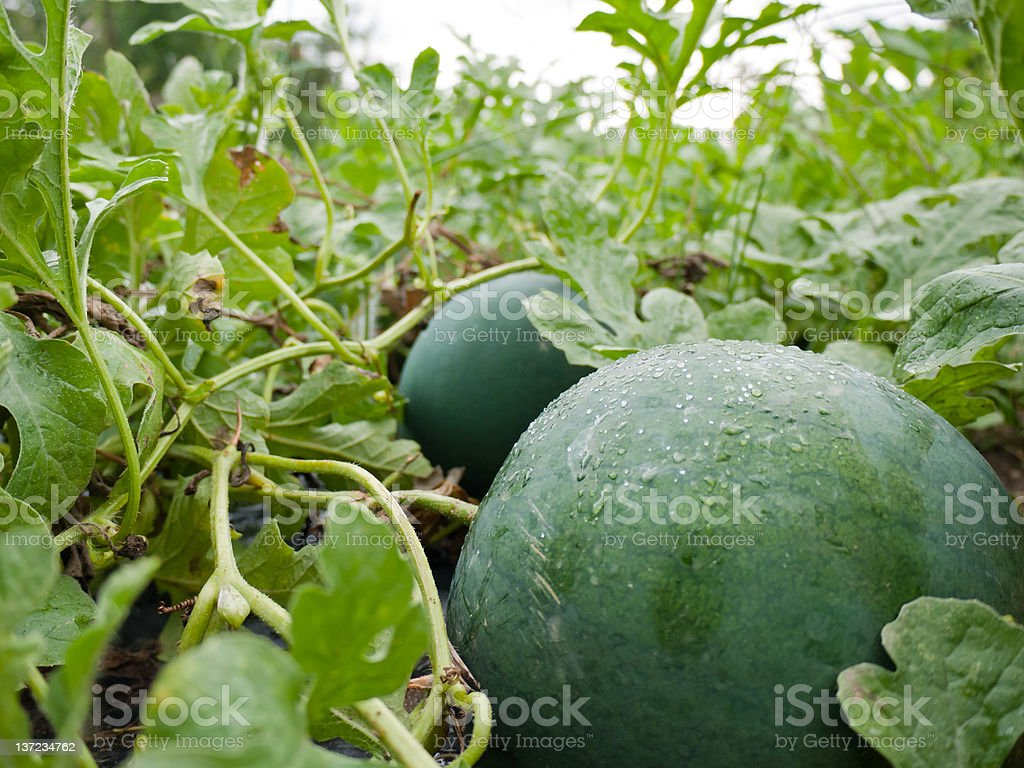 Green water melons royalty-free stock photo
