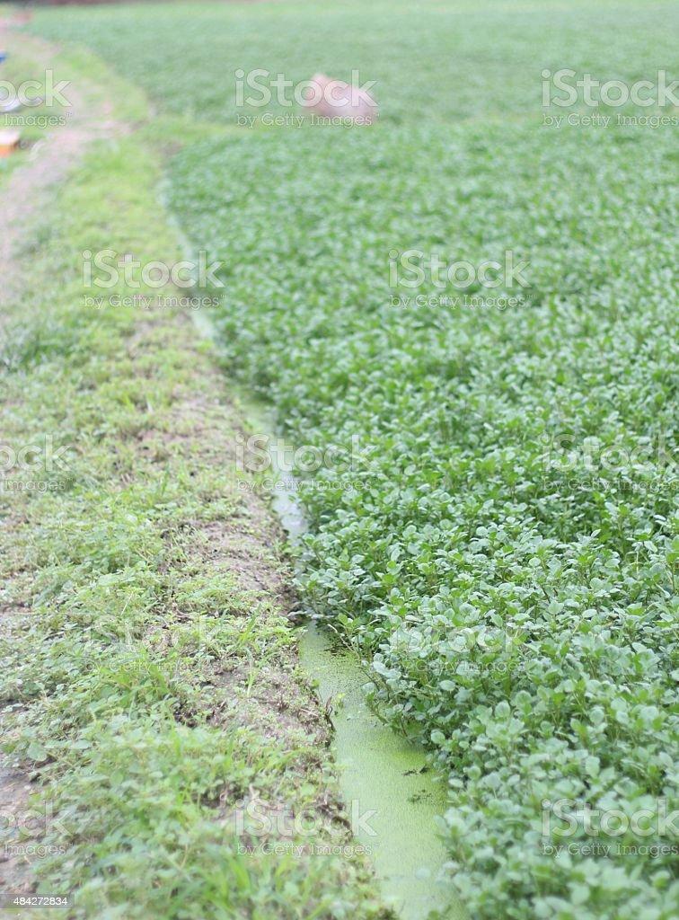 Green Watercress (Vegetable) Field, New Territories, Hong Kong stock photo