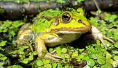 Close up picture with selective focus of a green waterfrog (Rana esculenta complex) in a pond with duckweed. The picture is shot in Bialowieza national park in Eastern Poland. One of the last preserved old-growth forests in Europe.
