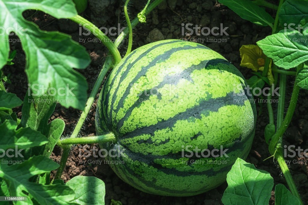 Green watermelon grows in the field in the summer sunny day stock photo