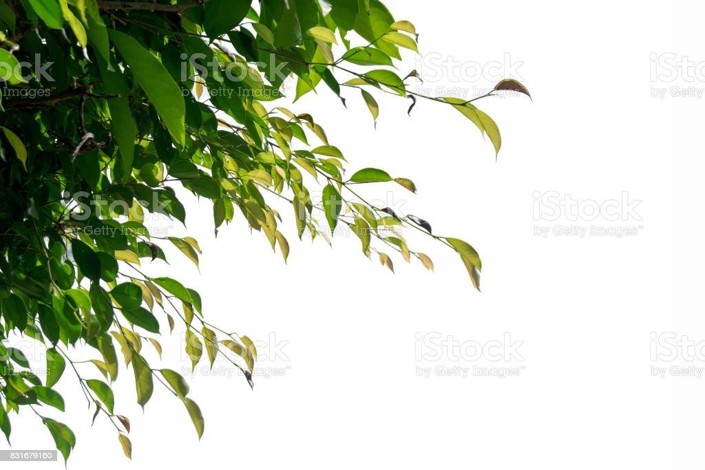 Figo verde chorando, galho de árvore Ficus isolar no fundo branco - foto de acervo