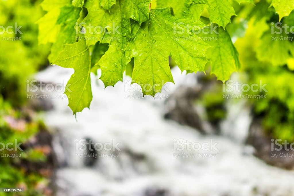 Green wet maple leaves with water drops closeup by waterfall river stock photo