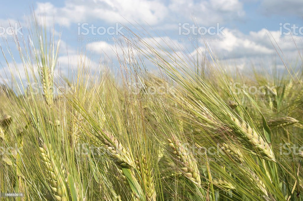Green Wheat Background royalty-free stock photo