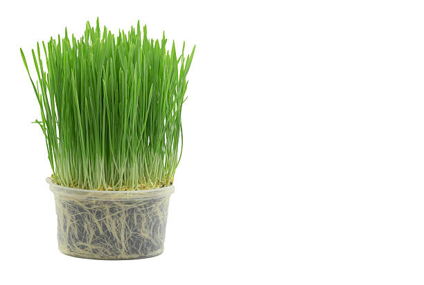 green wheat clipping path stock photo