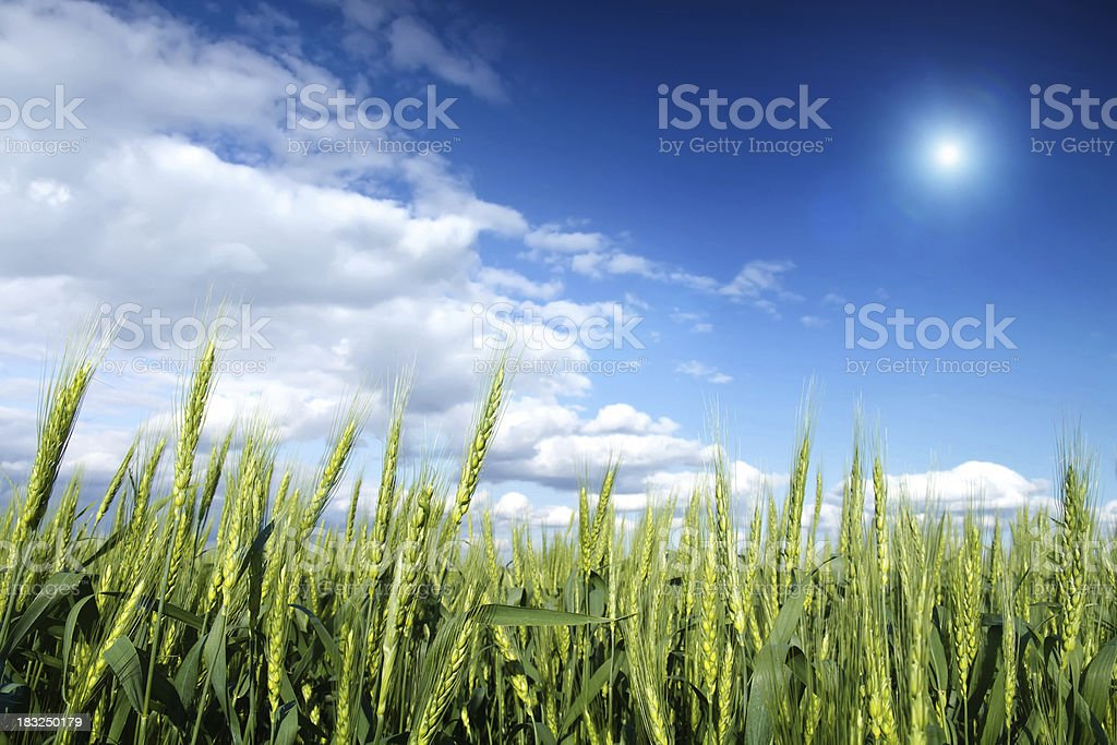 Green wheat cones royalty-free stock photo