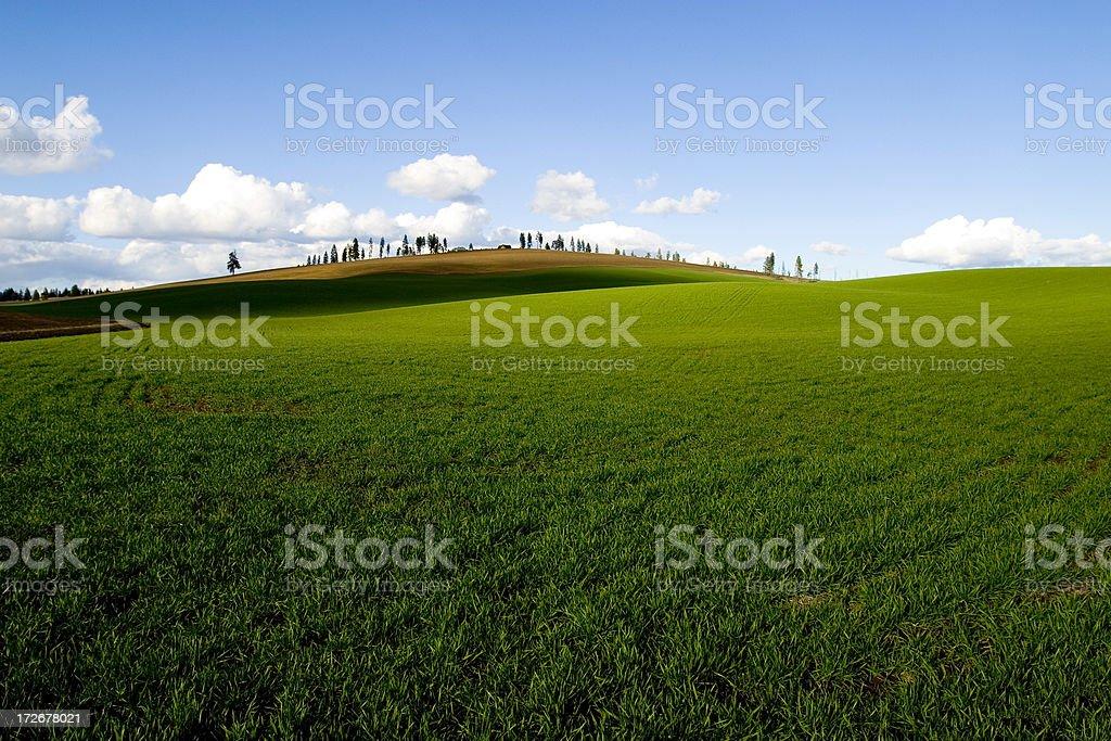 Green Wheat Field 3 royalty-free stock photo