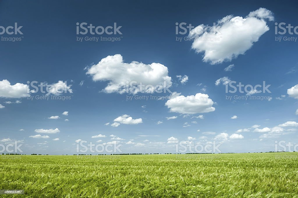 green wheat field and blue sky spring landscape stock photo