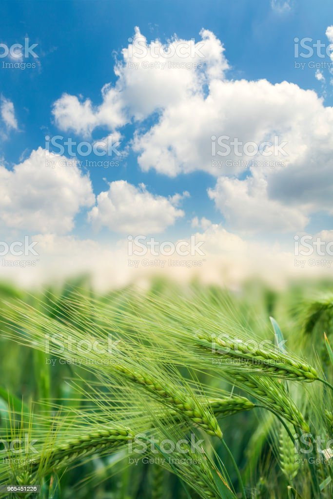 Green wheat field and sunny day royalty-free stock photo
