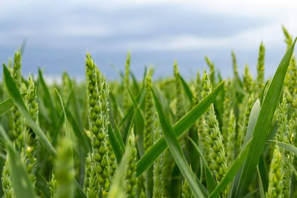 Green wheat field at sunny day stock photo