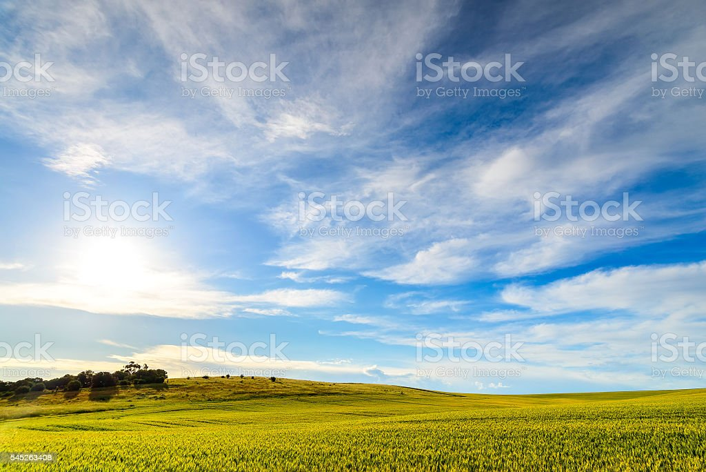 Green wheat field in Barossa Valley stock photo