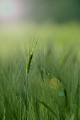 green wheat field in the first stages the plant is still green with a dreamy blurred background