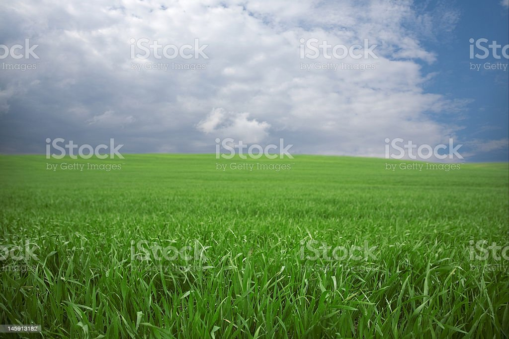 Green wheat field in the spring stock photo