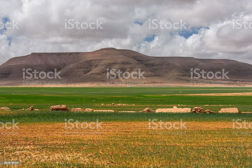 Green wheat field ,Morocco North Africa