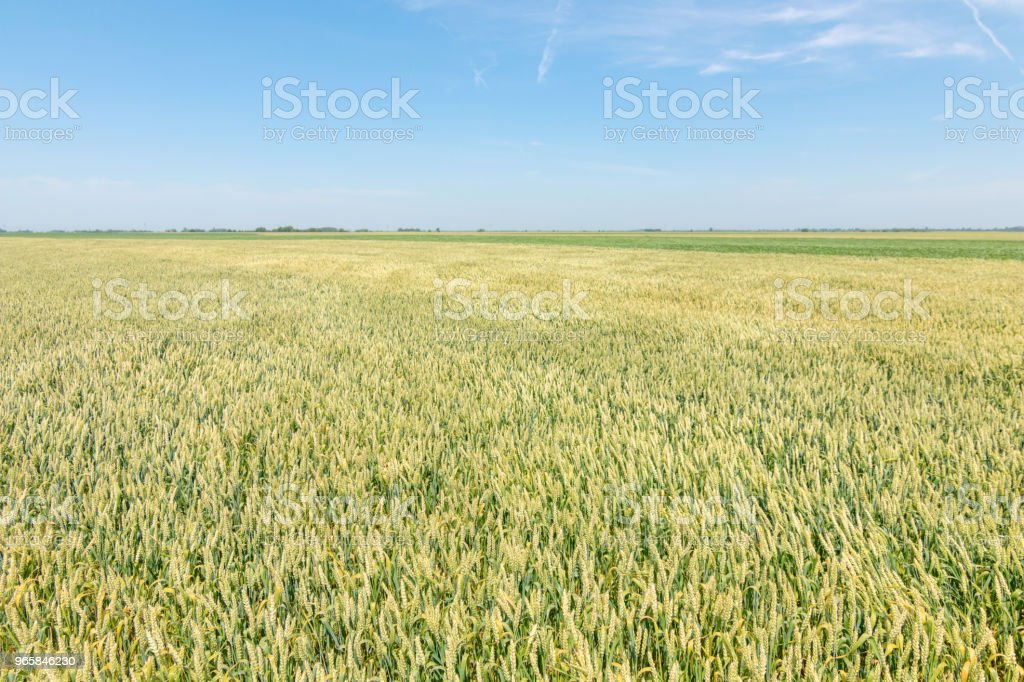 Green wheat field on sunny day. - Royalty-free Agricultural Field Stock Photo