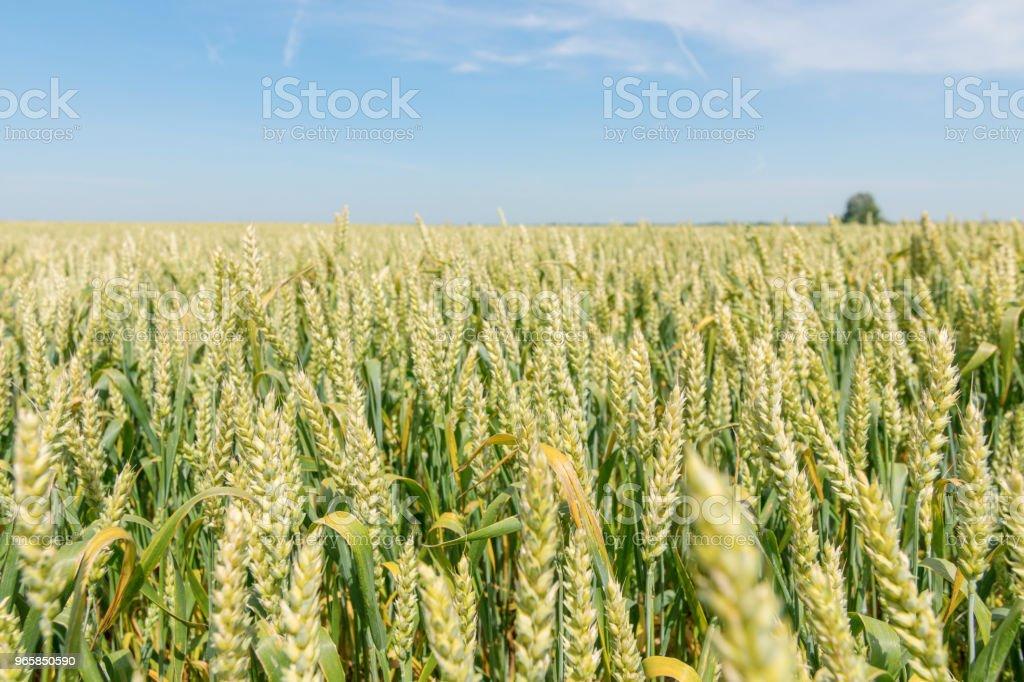 Groene tarweveld op zonnige dag. - Royalty-free Blauw Stockfoto
