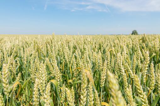 Groene Tarweveld Op Zonnige Dag Stockfoto en meer beelden van Blauw