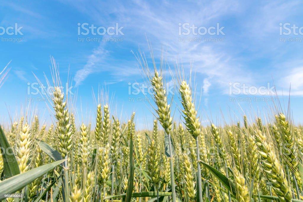 Зеленое пшеничное поле в солнечный день. - Стоковые фото Весна роялти-фри