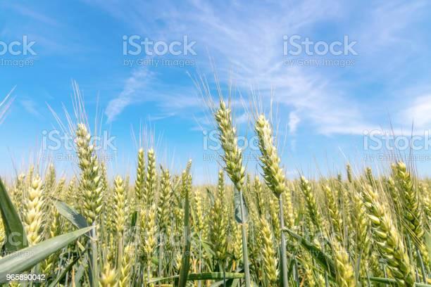 Зеленое Пшеничное Поле В Солнечный День — стоковые фотографии и другие картинки Весна