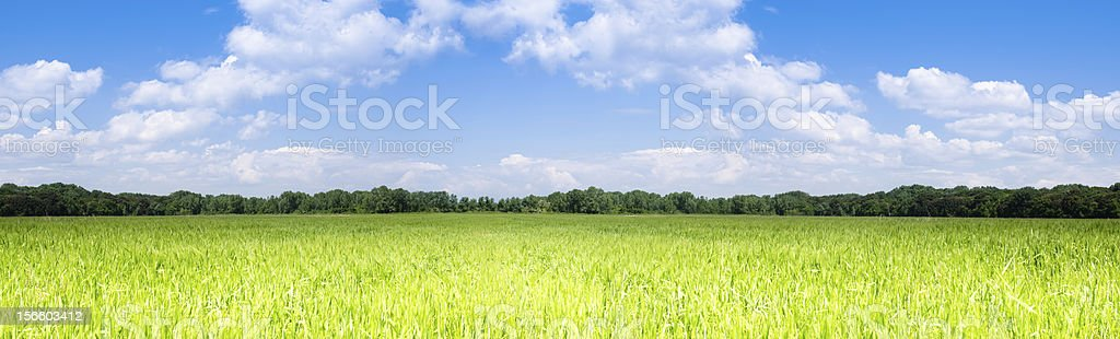 Green Wheat field panorama -33 Mpixel royalty-free stock photo