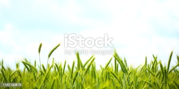 A close up of green wheat growing.