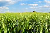 Green wheat field on a bright day