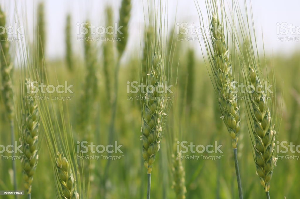 Green Wheat field zbiór zdjęć royalty-free