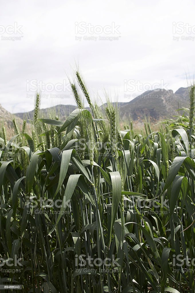 green wheat field 免版稅 stock photo