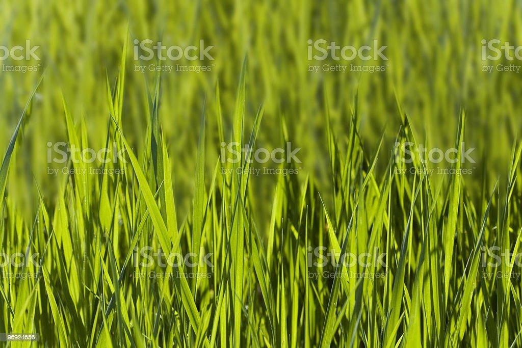 green wheat field royalty-free stock photo