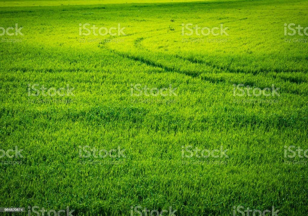 Green wheat field. Road in a green field of wheat. Traces of agricultural transport on the grass on a sunny day royalty-free stock photo