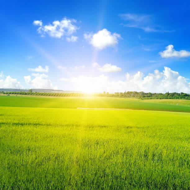 Grünes Weizenfeld, Sonnenaufgang und blauer Himmel. – Foto