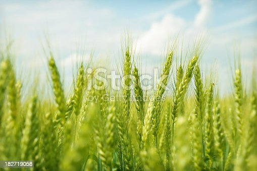 Wheat on a summer day
