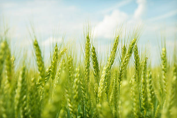 Green wheat field swaying in the breeze under a blue sky Wheat on a summer day wheat stock pictures, royalty-free photos & images