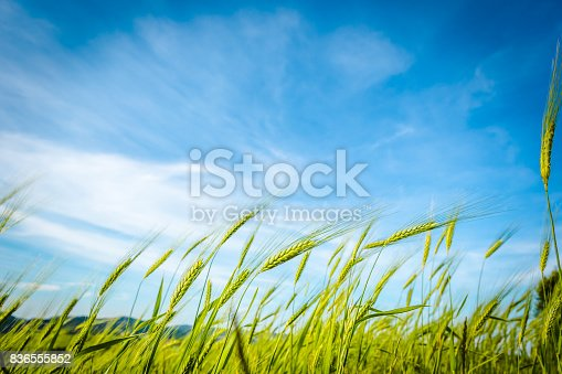 istock Green wheat field swaying in the breeze under a blue sky. Tuscany, Italy 836555852