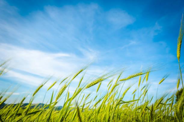 grünes weizenfeld wiegen sich im wind unter blauem himmel. toskana, italien - italienische lebensart stock-fotos und bilder