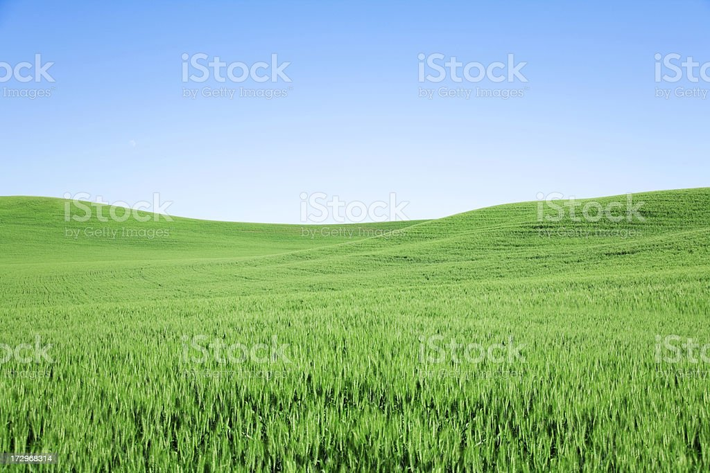 Green Wheat Field with Blue Sky stock photo