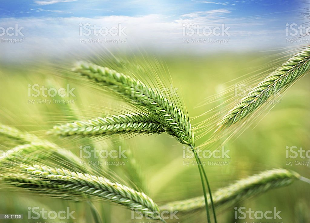 Green wheat field with blurred background royalty-free stock photo