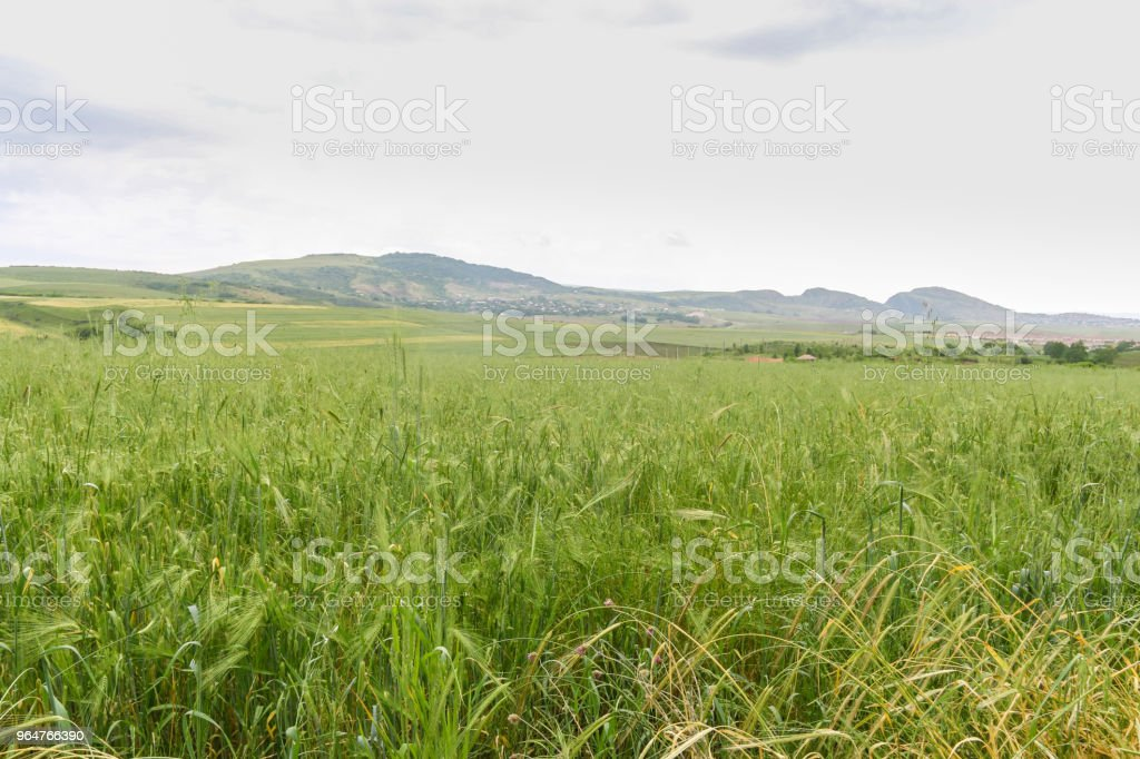 Green Wheat field with distant mountain views. royalty-free stock photo